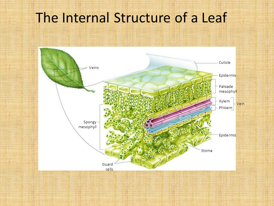 The Internal Structure of a Leaf