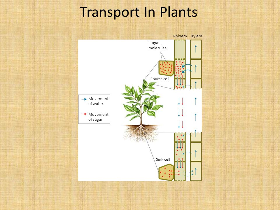 Transport In Plants Phloem Xylem Sugar molecules Source cell
