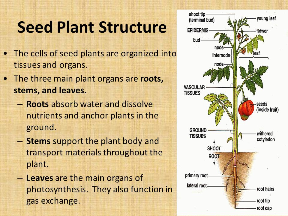 Seed Plant Structure The cells of seed plants are organized into tissues and organs. The three main plant organs are roots, stems, and leaves.