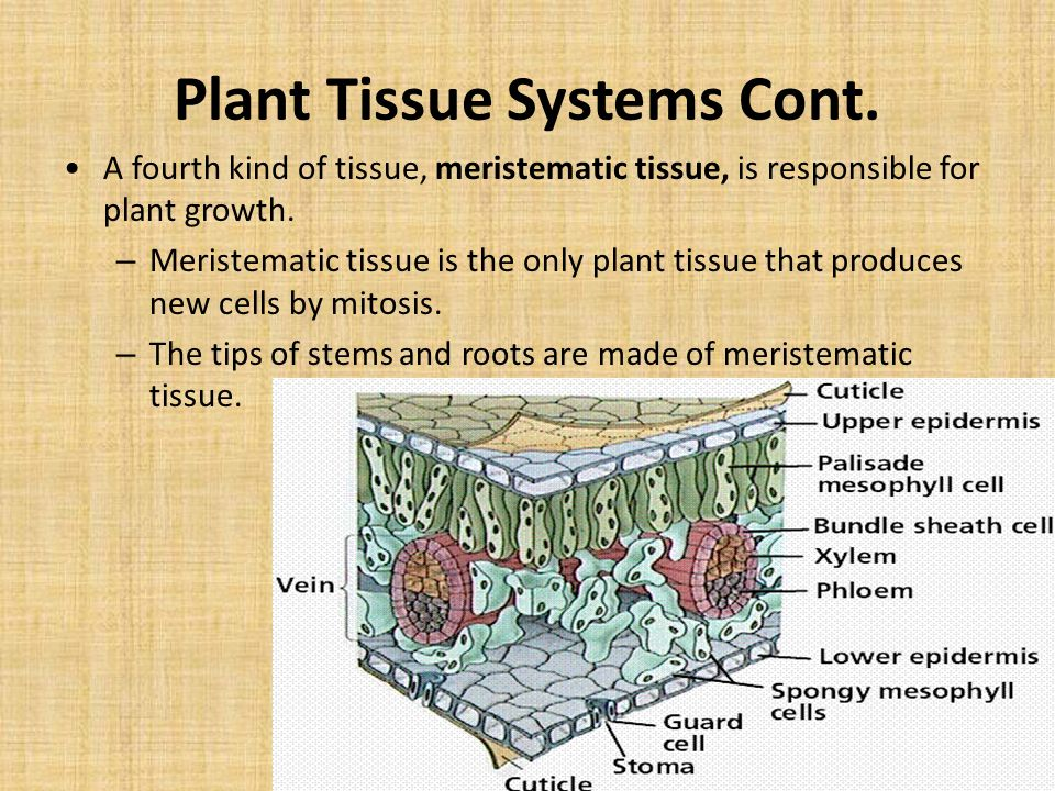 Plant Tissue Systems Cont.