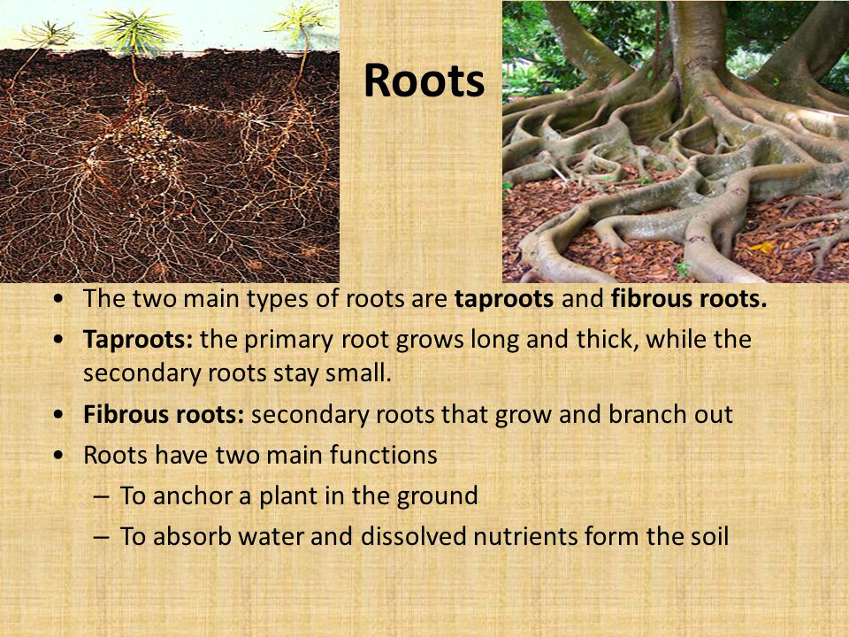 Roots The two main types of roots are taproots and fibrous roots.