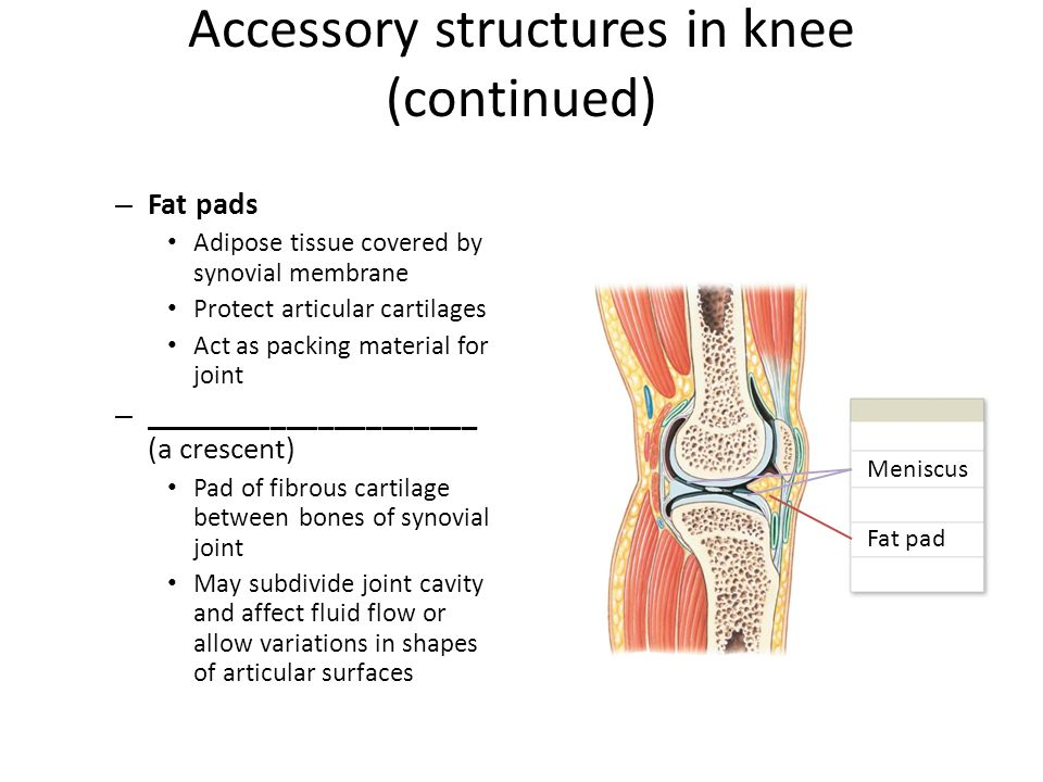 Accessory structures in knee (continued)