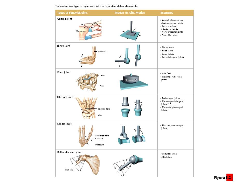The anatomical types of synovial joints, with joint models and examples
