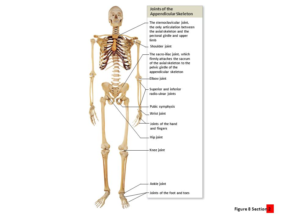 Joints of the Appendicular Skeleton. The sternoclavicular joint, the only articulation between. the axial skeleton and the.