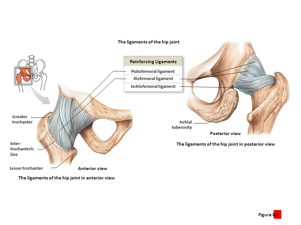 Reinforcing Ligaments Ischiofemoral ligament