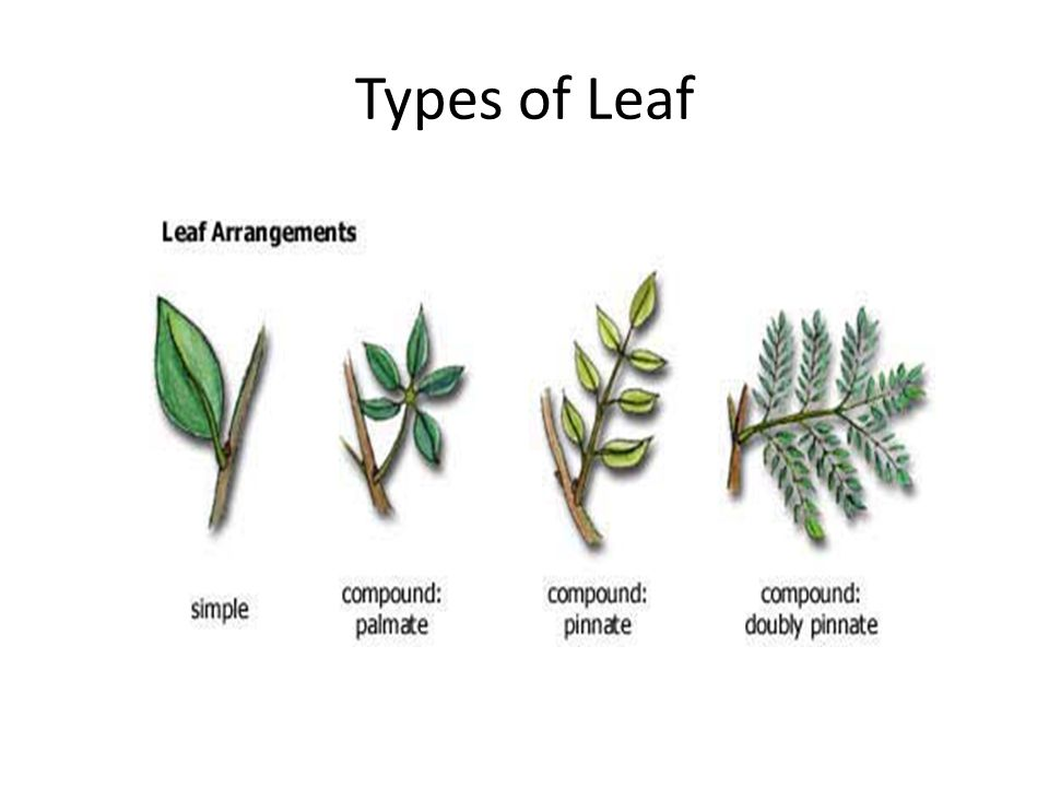 Types of Leaf