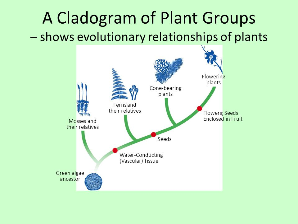 A Cladogram of Plant Groups – shows evolutionary relationships of plants