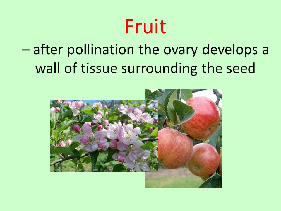 Fruit – after pollination the ovary develops a wall of tissue surrounding the seed