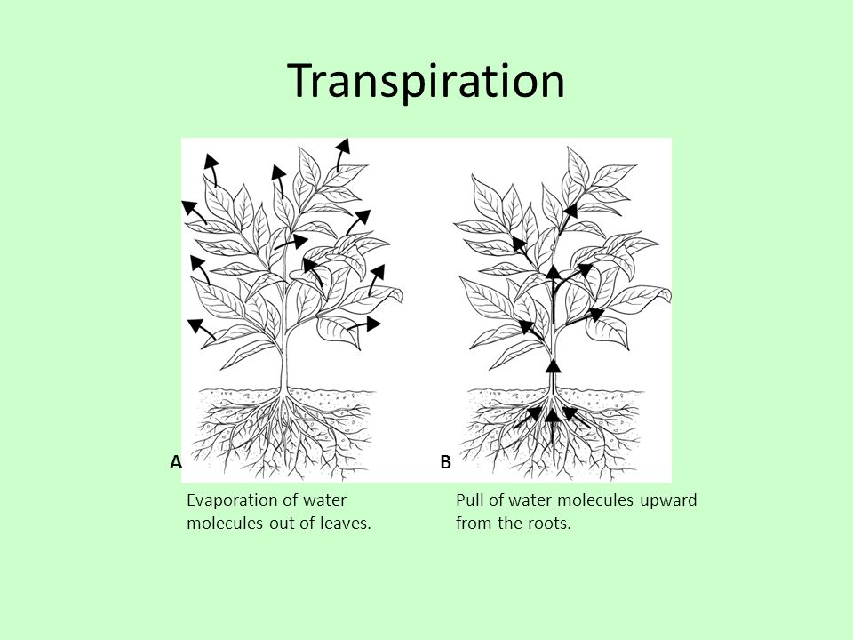 Transpiration A B Evaporation of water molecules out of leaves.