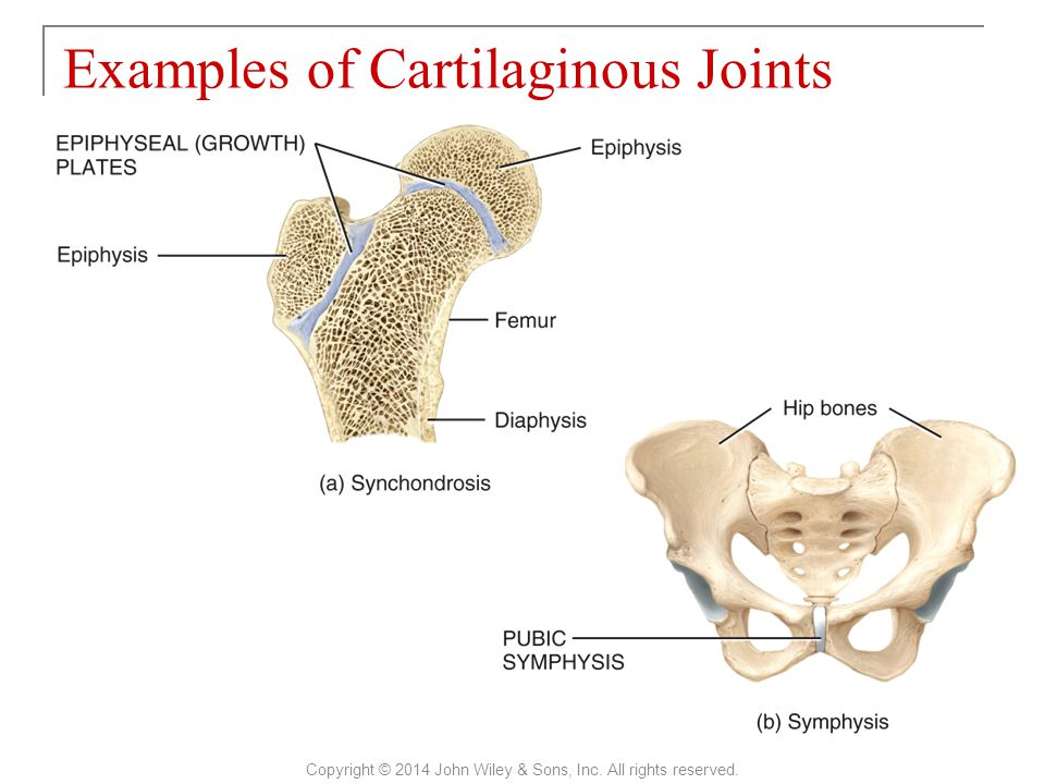 Examples of Cartilaginous Joints