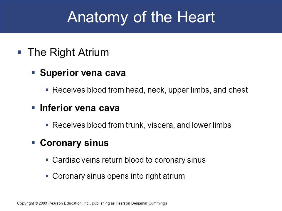 Anatomy of the Heart The Right Atrium Superior vena cava