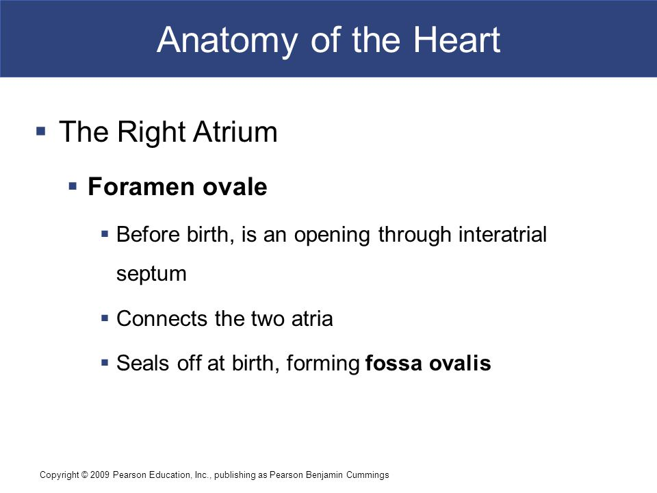 Anatomy of the Heart The Right Atrium Foramen ovale