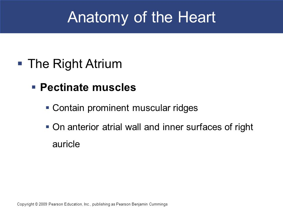Anatomy of the Heart The Right Atrium Pectinate muscles