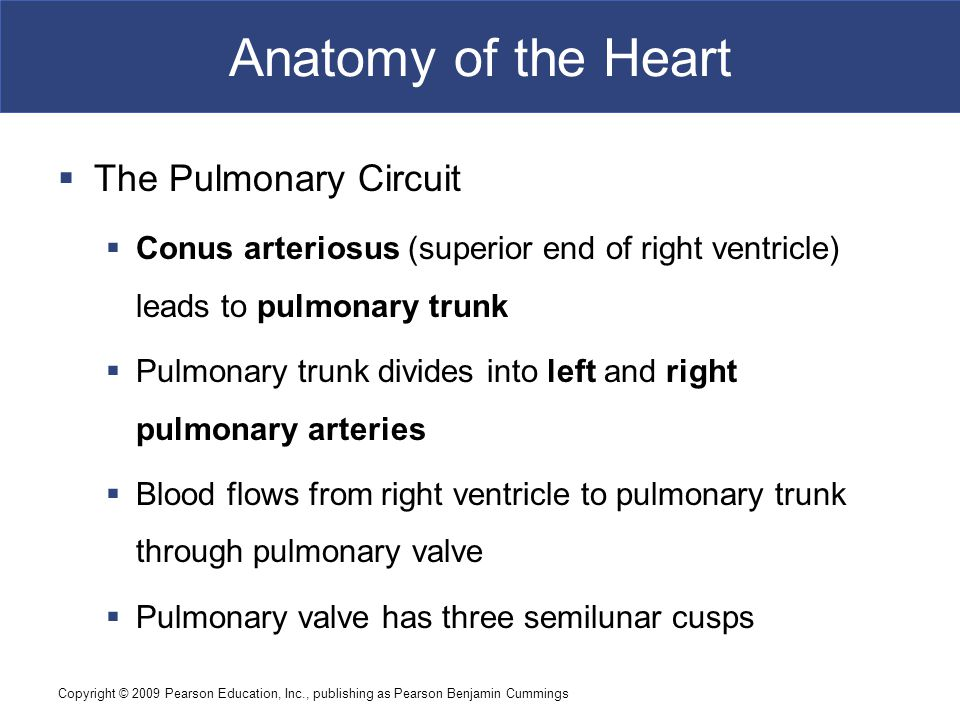Anatomy of the Heart The Pulmonary Circuit
