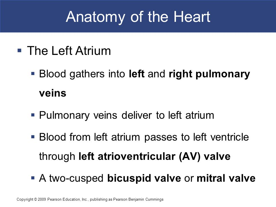 Anatomy of the Heart The Left Atrium