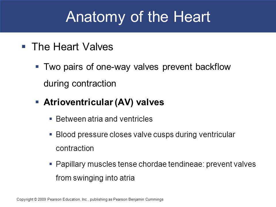 Anatomy of the Heart The Heart Valves
