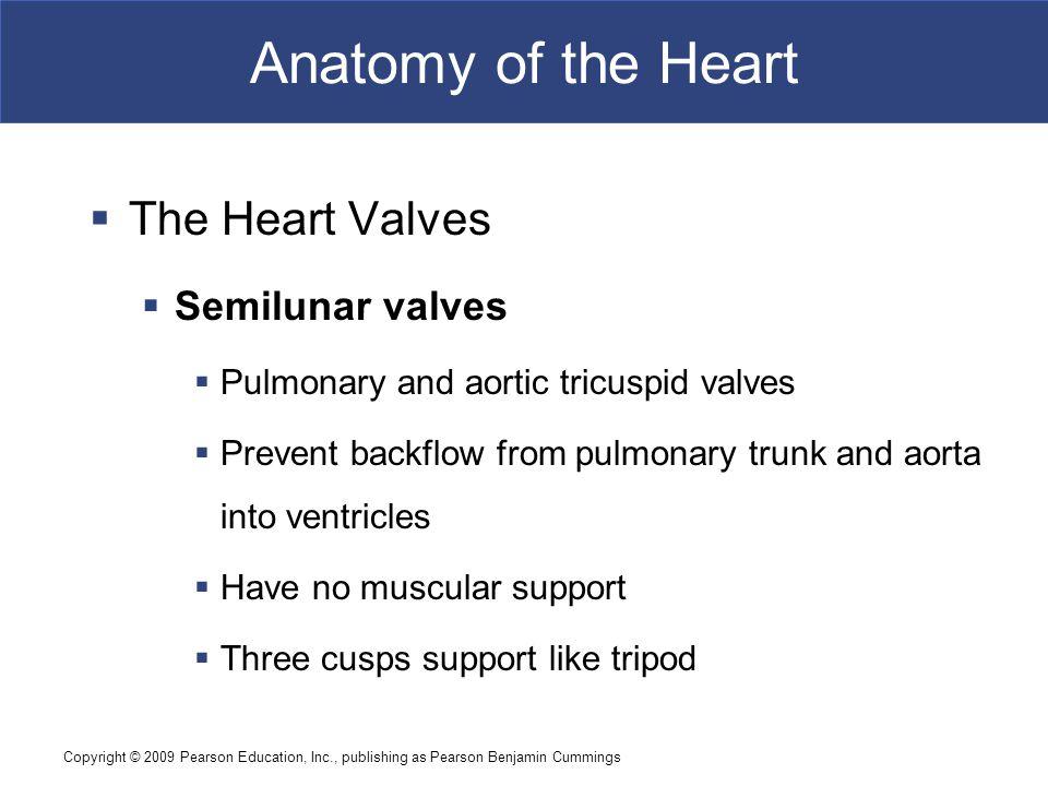 Anatomy of the Heart The Heart Valves Semilunar valves