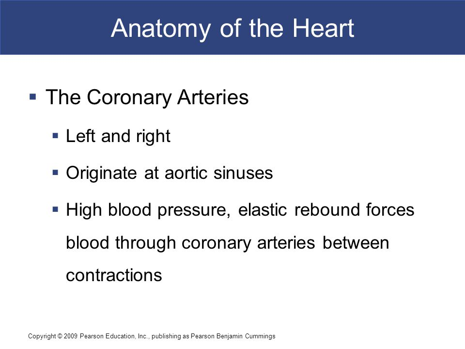 Anatomy of the Heart The Coronary Arteries Left and right