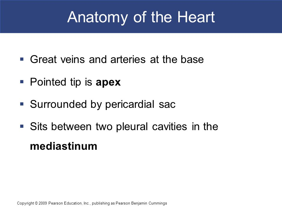 Anatomy of the Heart Great veins and arteries at the base