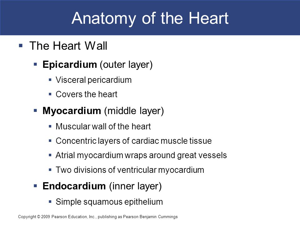 Anatomy of the Heart The Heart Wall Epicardium (outer layer)