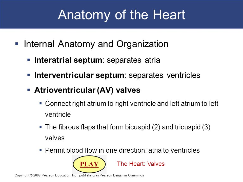 Anatomy of the Heart Internal Anatomy and Organization