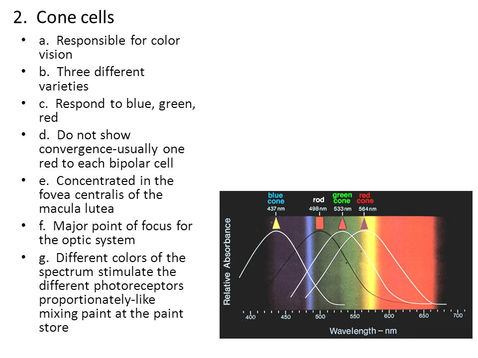 2. Cone cells a. Responsible for color vision