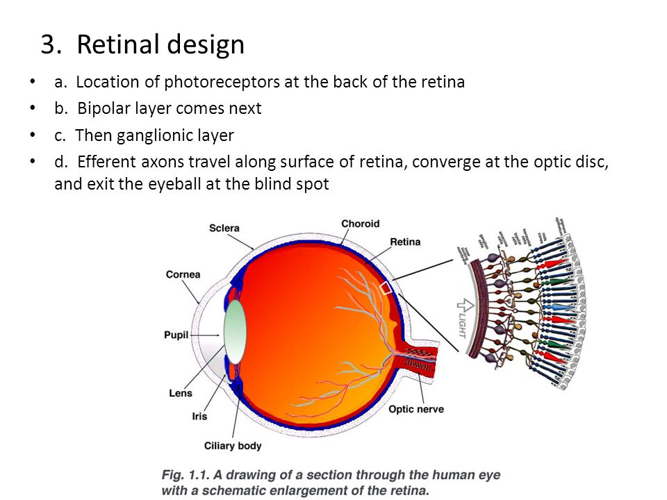 3. Retinal design a. Location of photoreceptors at the back of the retina. b. Bipolar layer comes next.