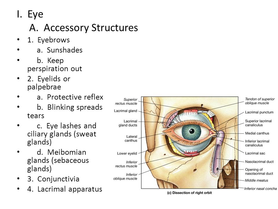 I. Eye A. Accessory Structures