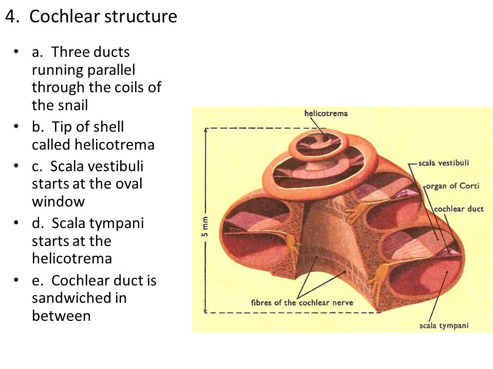 4. Cochlear structure a. Three ducts running parallel through the coils of the snail. b. Tip of shell called helicotrema.