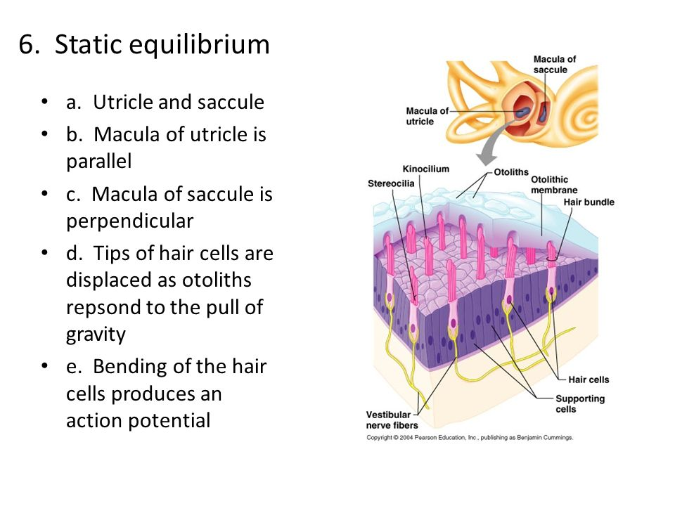 6. Static equilibrium a. Utricle and saccule