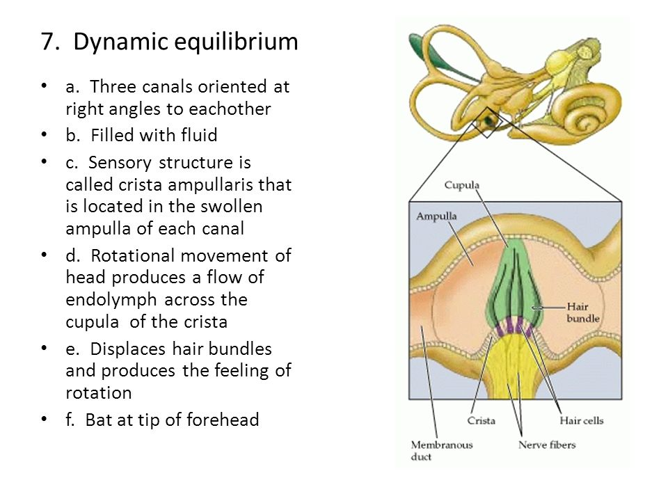 7. Dynamic equilibrium a. Three canals oriented at right angles to eachother. b. Filled with fluid.