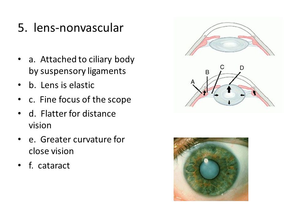 5. lens-nonvascular a. Attached to ciliary body by suspensory ligaments. b. Lens is elastic. c. Fine focus of the scope.