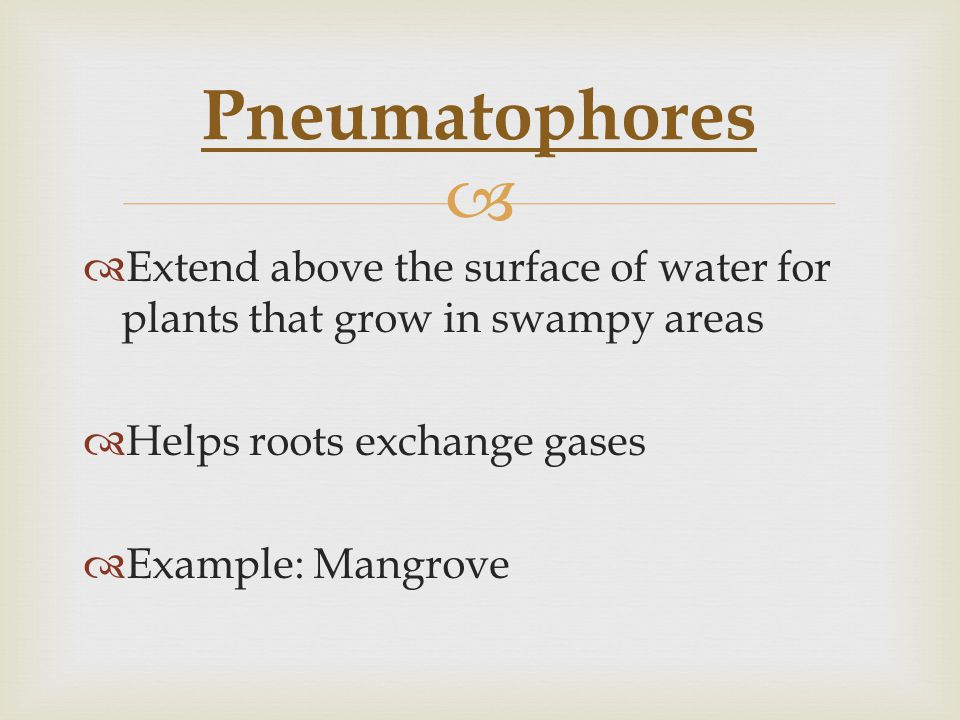 Pneumatophores Extend above the surface of water for plants that grow in swampy areas. Helps roots exchange gases.