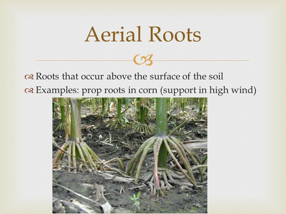 Aerial Roots Roots that occur above the surface of the soil