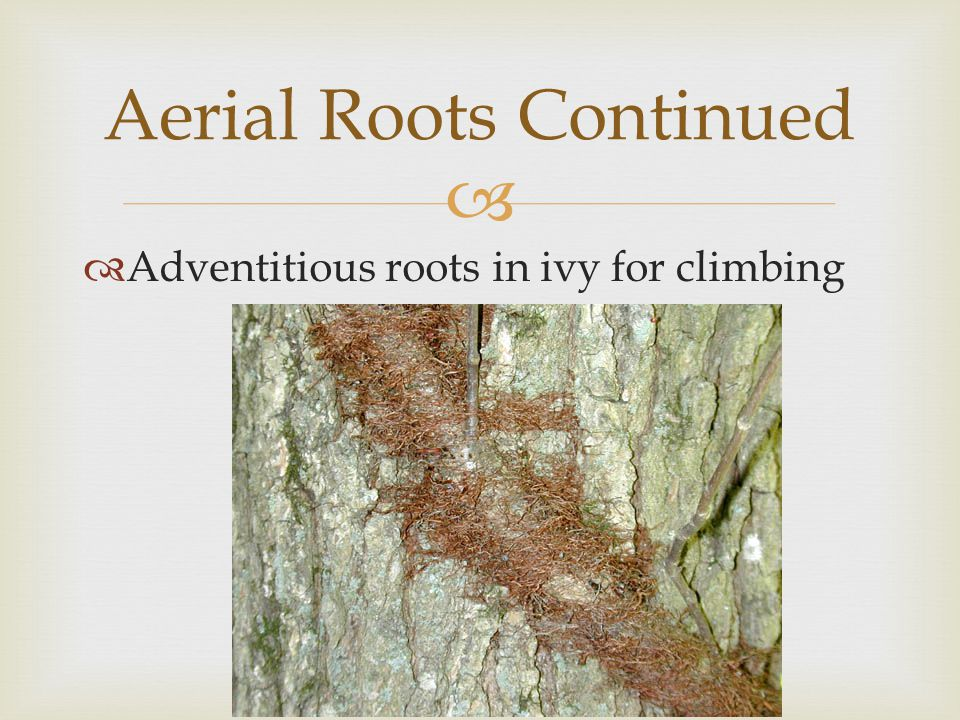 Aerial Roots Continued