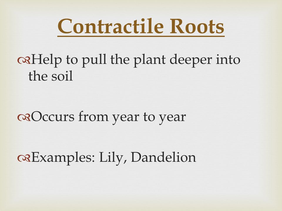 Contractile Roots Help to pull the plant deeper into the soil