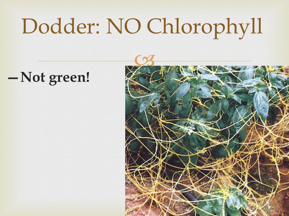 Dodder: NO Chlorophyll
