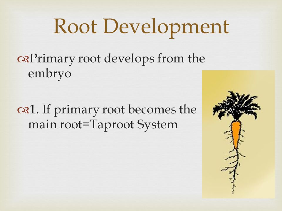 Root Development Primary root develops from the embryo