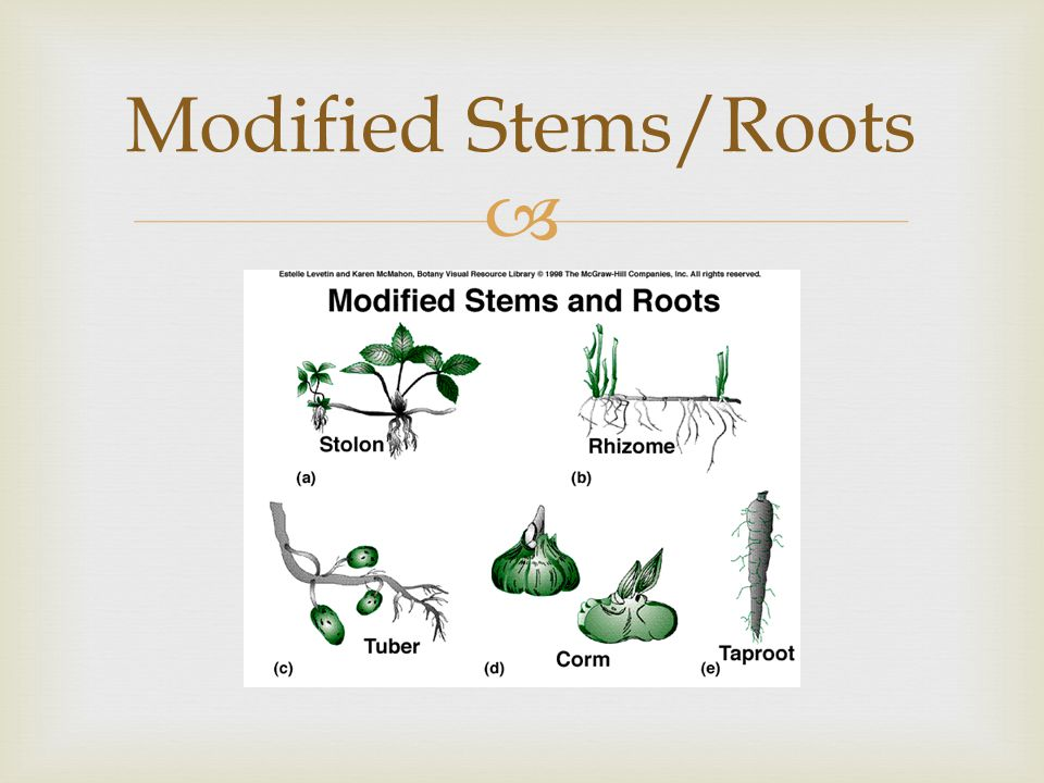 Modified Stems/Roots