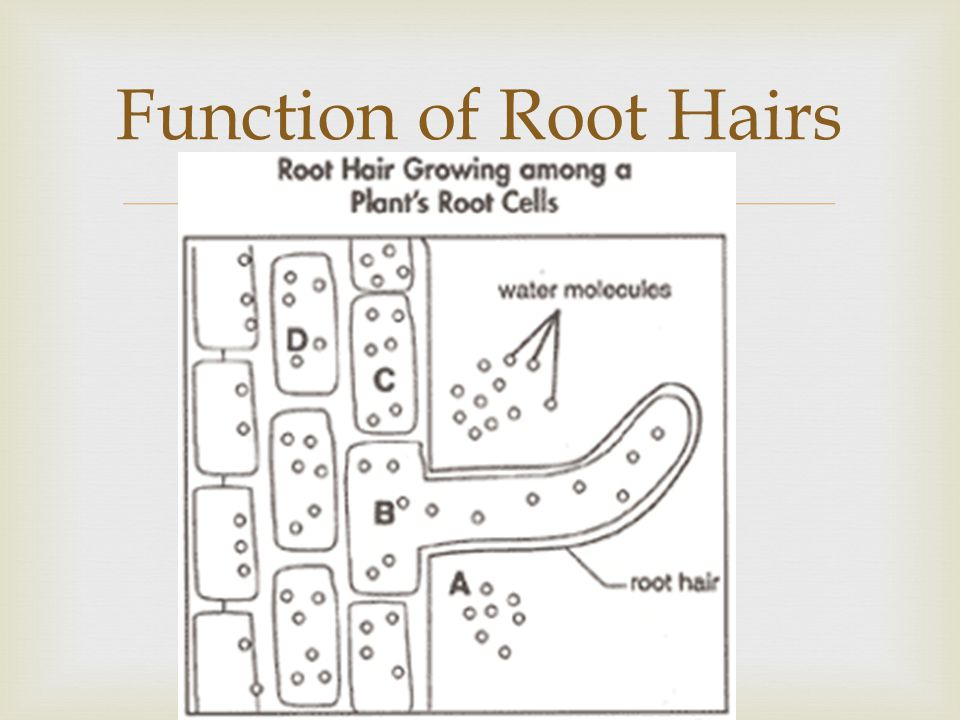 Function of Root Hairs