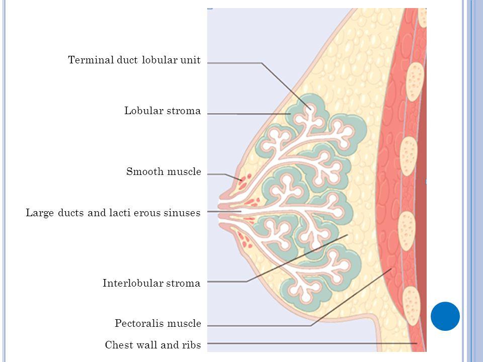 Terminal duct lobular unit