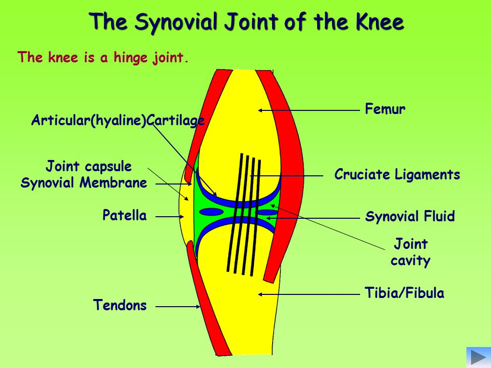 The Synovial Joint of the Knee