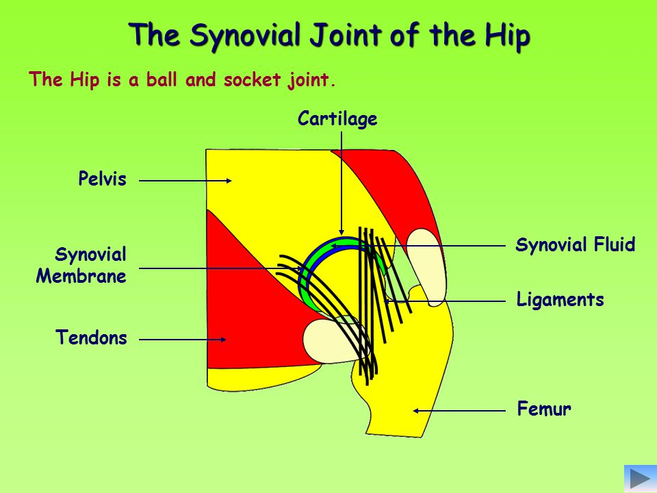 The Synovial Joint of the Hip