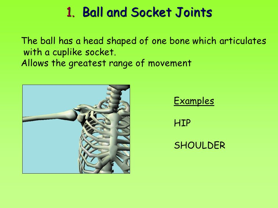 1. Ball and Socket Joints The ball has a head shaped of one bone which articulates. with a cuplike socket.