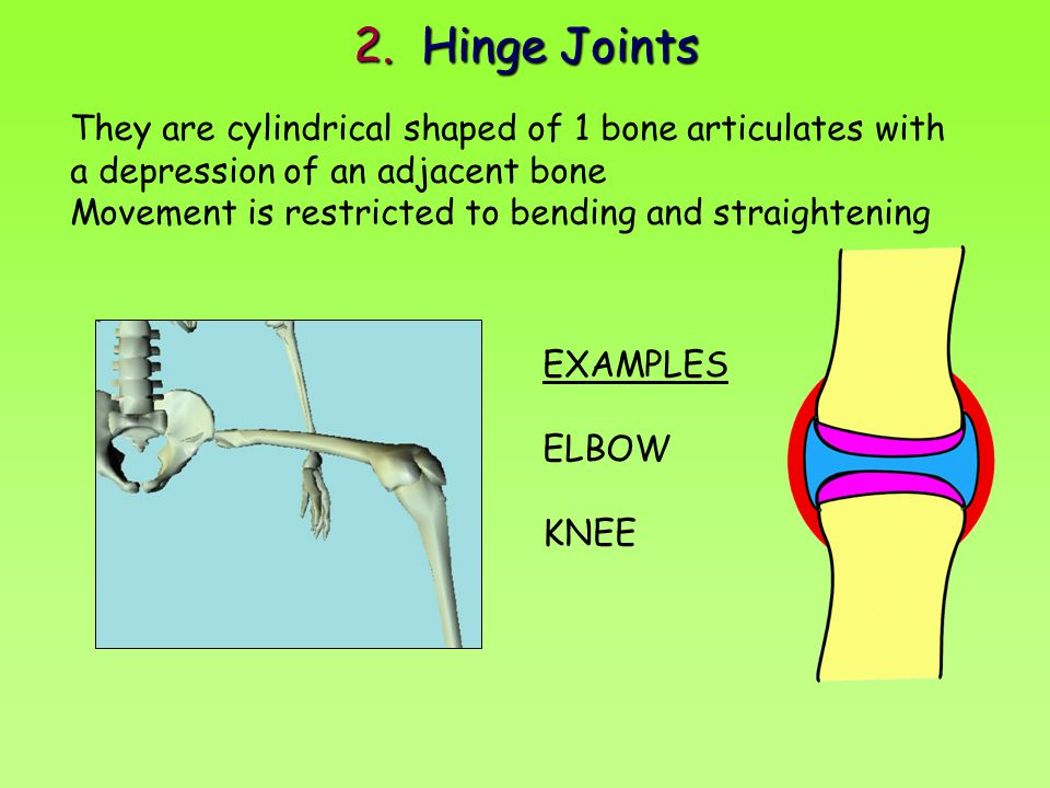 2. Hinge Joints They are cylindrical shaped of 1 bone articulates with