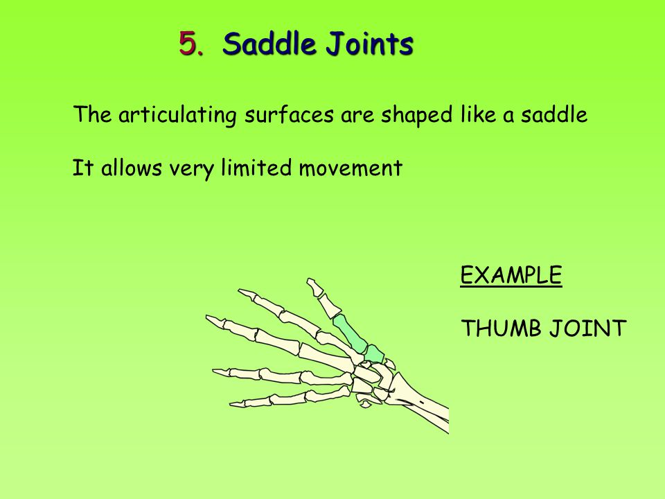 5. Saddle Joints The articulating surfaces are shaped like a saddle