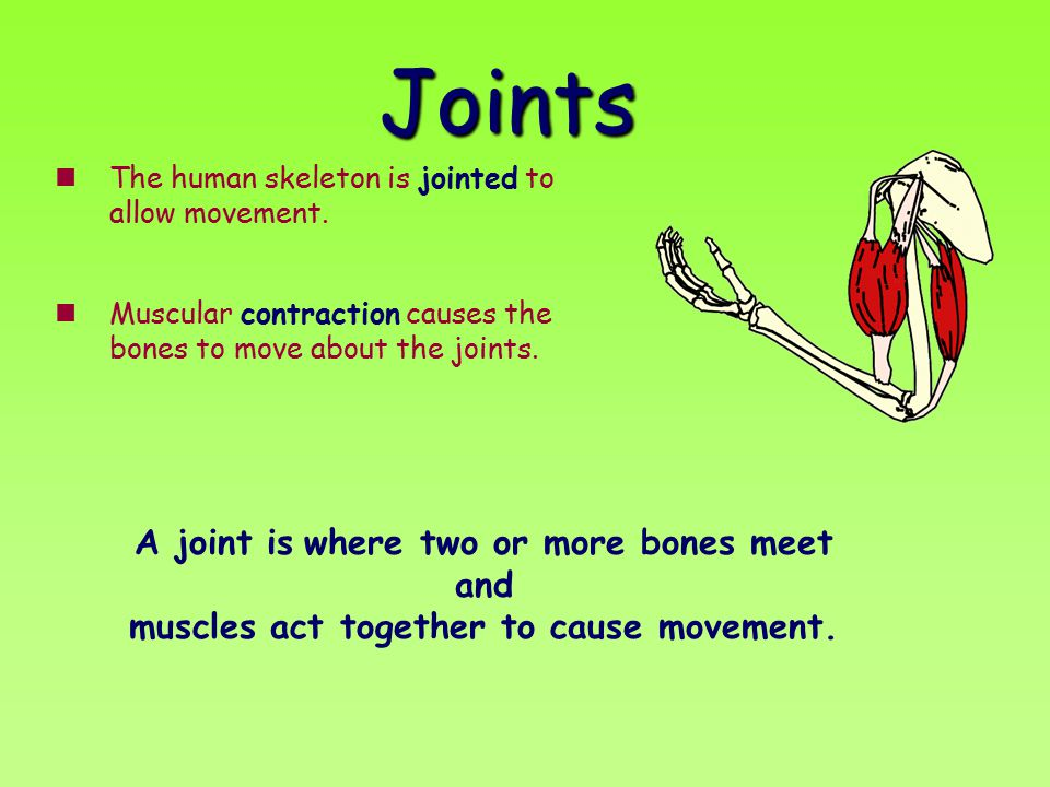 Joints The human skeleton is jointed to allow movement. Muscular contraction causes the bones to move about the joints.