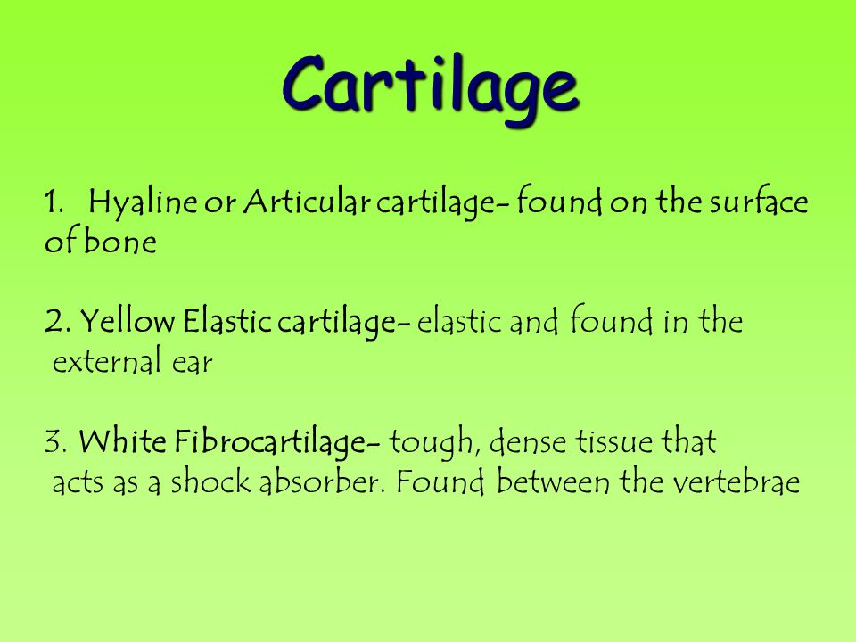 Cartilage Hyaline or Articular cartilage- found on the surface of bone