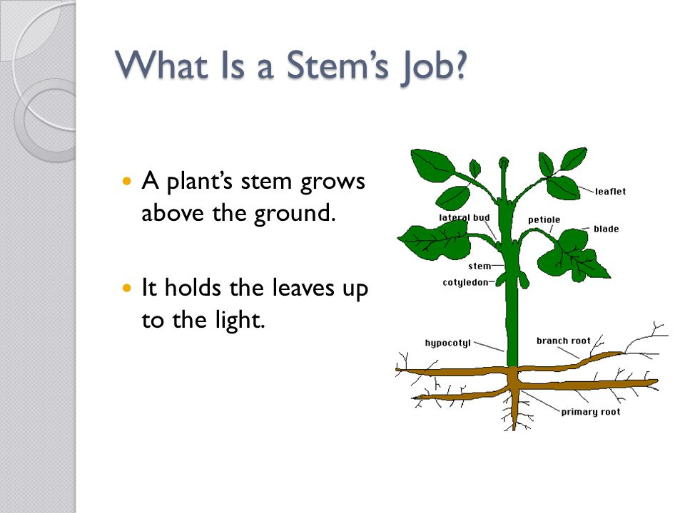 What Is a Stem's Job A plant's stem grows above the ground.