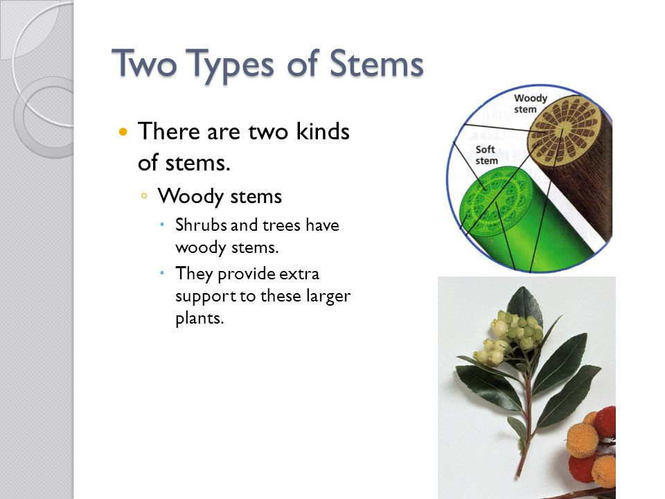 Two Types of Stems There are two kinds of stems. Woody stems